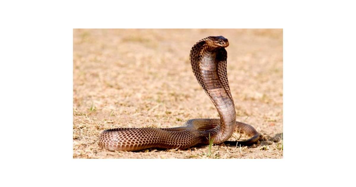 Cao rắn hổ mang