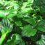 8 Công dụng của lá lốt trong cuộc sống – Những vị thuốc Việt Nam P3