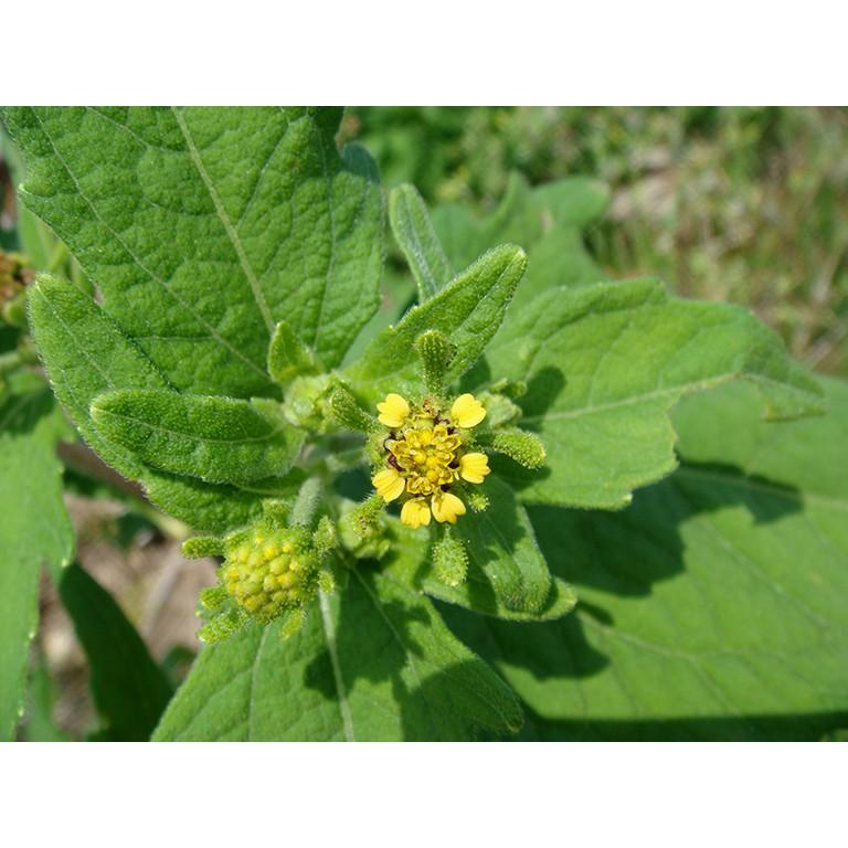 hoa cây hy thiêm thảo chữa đau khớp gối